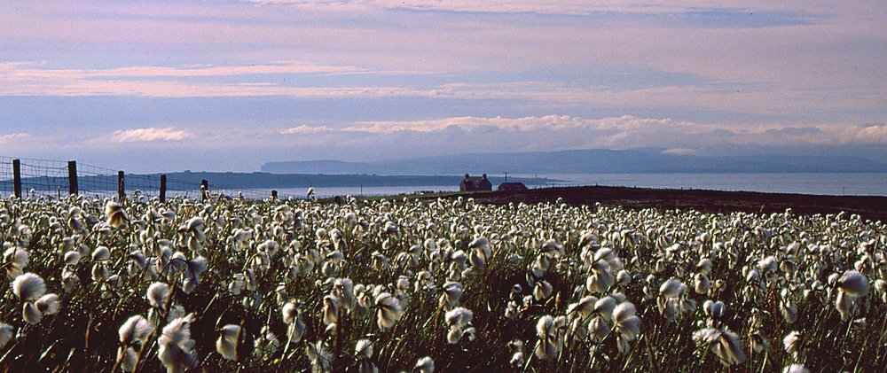 Looking north to Orkney, across a stretch of bog cotton